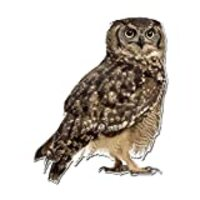 Photo Realistic Cute Owl - 10 Inch Full Color Vinyl Decal for Indoor or Outdoor use, Cars, Laptops, Décor, Windows, and more