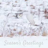 Snowy Owl Christmas Cards - pack of 6, Season's Greetings, bird holiday card, owl Christmas card, bird photography holiday card